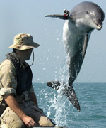 A Dolphin wearing an acoustic tracking device trains for its mission in the Persian Gulf - Courtesy of US Navy